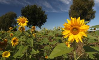 Saatgut für unsere Blumesamentüten